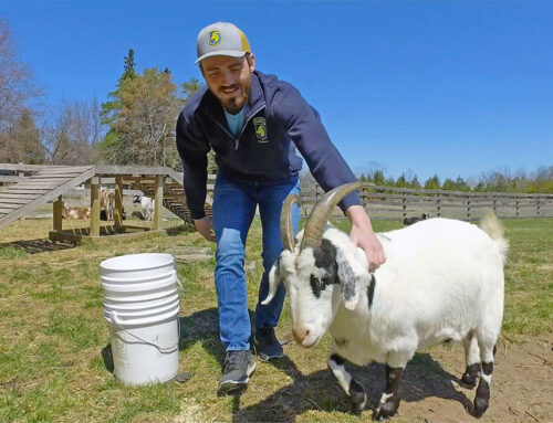 Al Johnson's Launches Weekly Video Series About Its Famous Goats